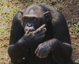 Askari_Africa_Chimpanzee