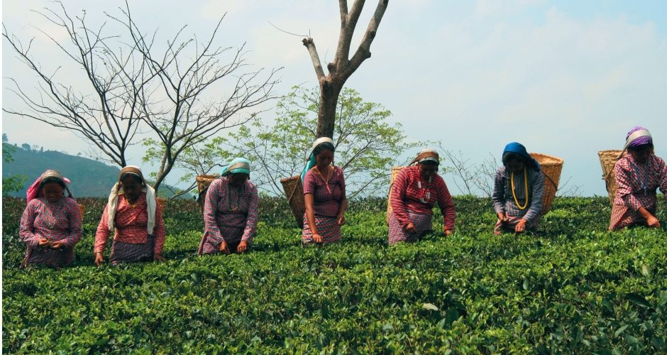 Tea Pickers at Glenburn